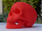 Human Skull -- Small in Red Strong & Flexible Polished