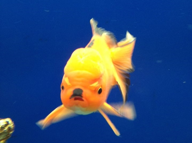 Angry Hitler Goldfish 3d printed