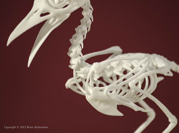 Bare-Fronted Hoodwink Bird Skeleton 3d printed