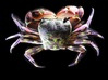 Articulated Crab (Pachygrapsus crassipes) 3d printed Shown painted with acrylics