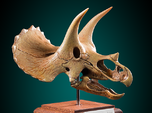 Museum quality Triceratops skull