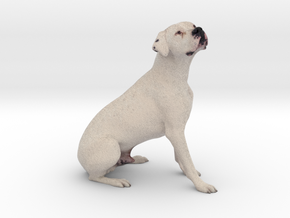 White Dogo Argentino 001 in Full Color Sandstone