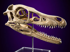 Velociraptor - dinosaur skull replica in White Natural Versatile Plastic: Medium