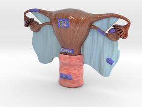 Female reproductive organ Uterus ovary tube vagina in Glossy Full Color Sandstone