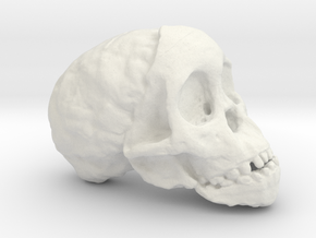 RadioLab Taung Child Skull Via Shootdigital 2014.0 in White Natural Versatile Plastic