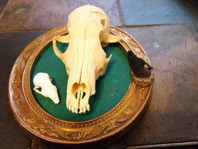 Fox Skull 3D Scan in White Natural Versatile Plastic