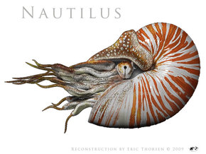 Nautilus 5.5cm -Hollow in Frosted Ultra Detail
