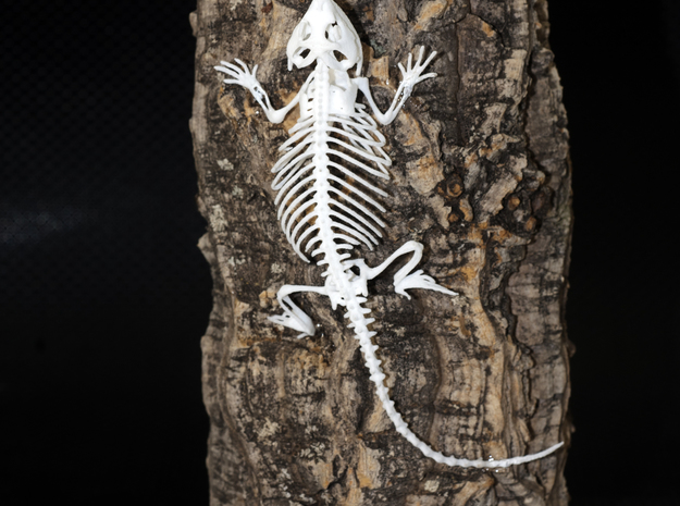 Bearded Dragon Skeleton - 7 Inches