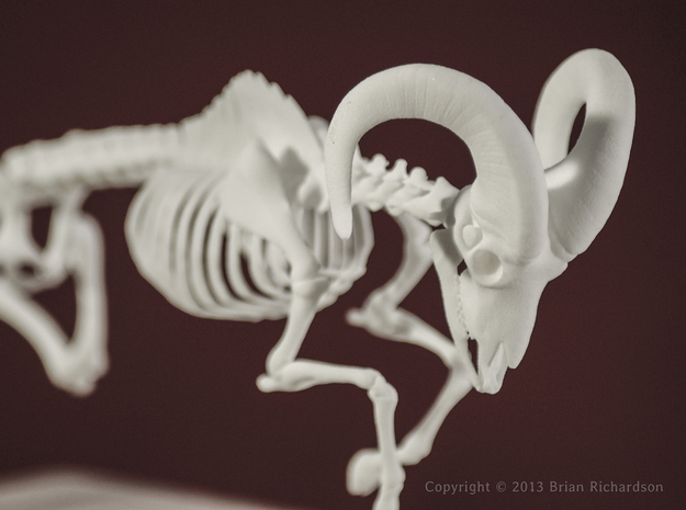 Bighorn Sheep Skeleton 3d printed WSF