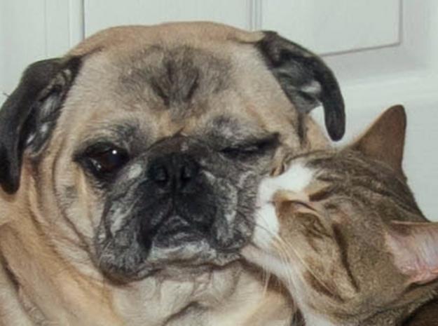 Affectionate Cat Kisses Aloof Pug 3d printed