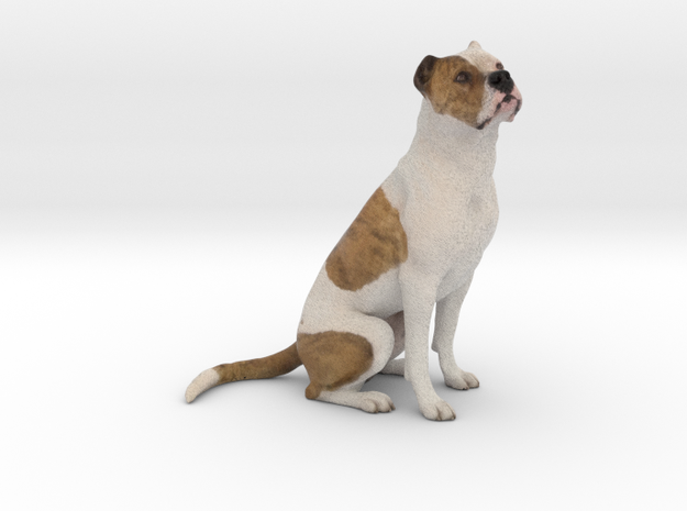 Brown and White Couped Stafford Pitbull 001 in Full Color Sandstone