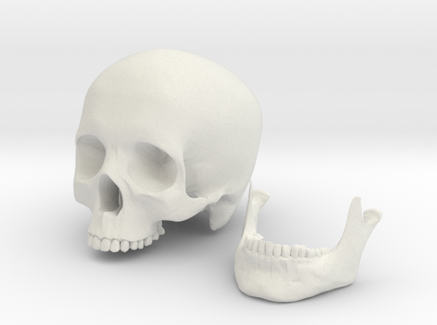 Skull scale 1/3 in White Strong & Flexible