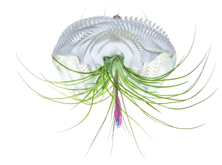 Bulbophyllum Ondulatus Planter 3d printed Tillandsia species: T. stricta