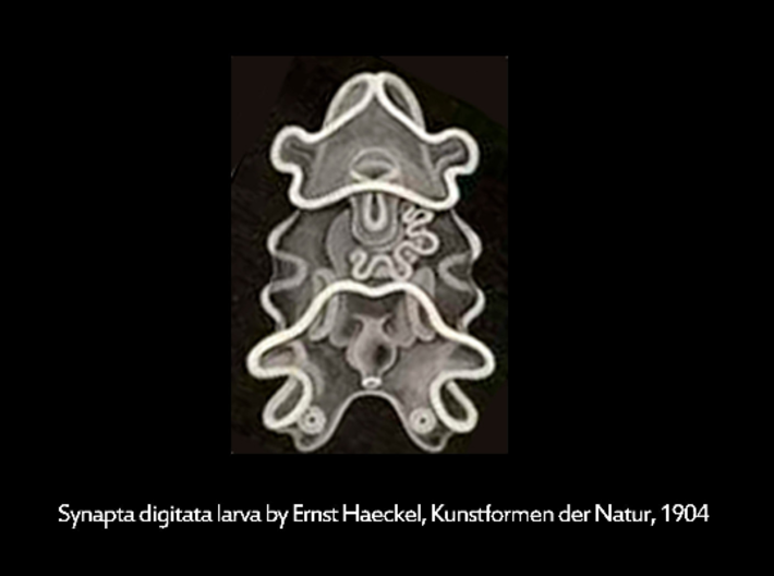 Sea Cucumber Larva Lapel Pin 3d printed Sea Cucumber Larva drawing by Ernst Haeckel