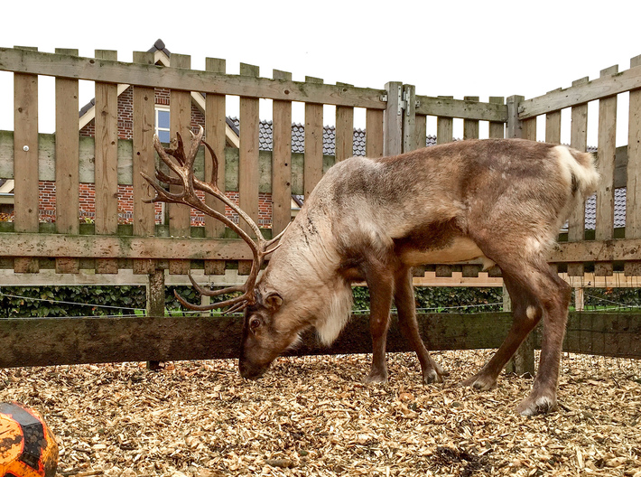 3D scanned Reindeer  3d printed The real life model
