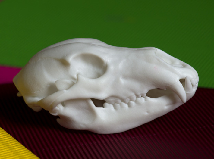 Bear Skull. Jointed Jaw. 10cm 3d printed Realistic, anatomically authentic Brown Bear Skull