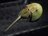 Articulated Horseshoe Crab (Limulus polyphemus) 3d printed shown painted with acrylics