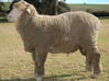 Sheep - Head Raised X 64 - 7mm/O Scale 3d printed Model sheep are based on this type of sheep