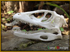 Dino Skull - Raptor Replica 3d printed fresh white print before dyeing