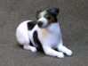 Laying Jack Russell Terrier 1 3d printed